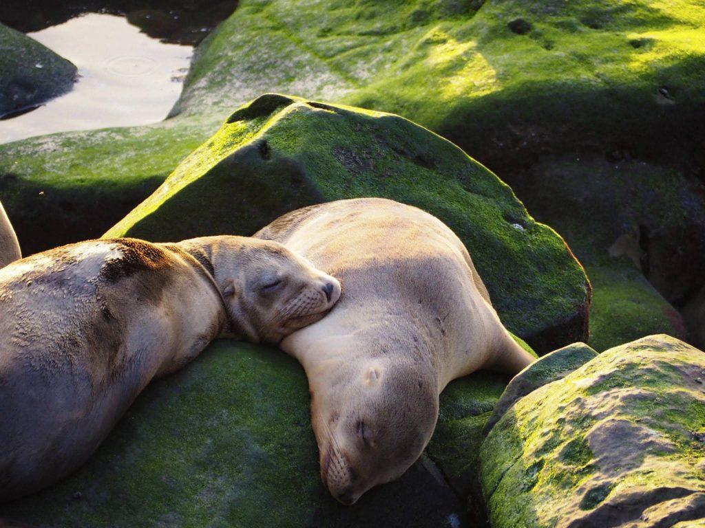 Lion de Mer - La Jolla - San Diego