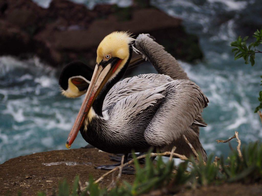 Pelican La Jolla Cove - San Diego