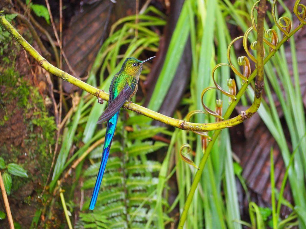 Colibri - Mindo - Equateur
