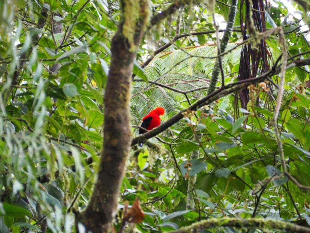 Birdwatching - Mindo - Ecuador